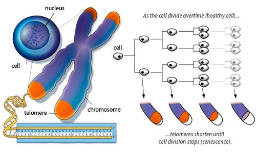 telomeres-3
