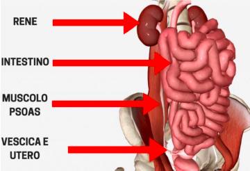 correlazioni con organi viscerali