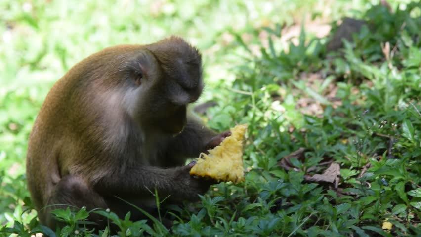 Scimmia che osserva un ananas